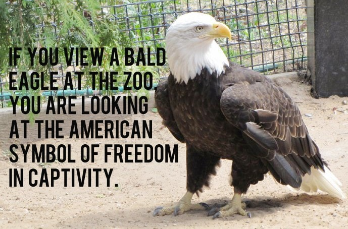 seirra_the_american_bad_eagle_at_n_e_w_zoo_by_katahrens-d55xx0m-934x